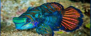 The dance of the mandarinfish