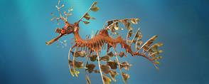 Leafy Sea-Dragons